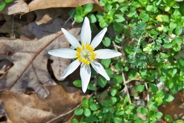 Bloodroot blooming (March) - Watergap