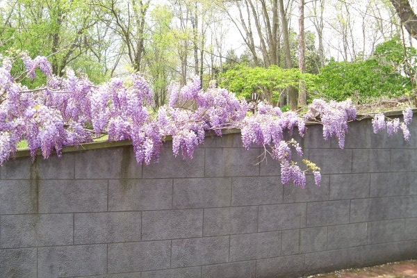 Wisteria - shower court/hot tub