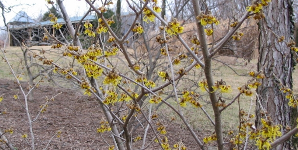 Witchhazel in Bloom - late February